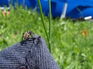 Hoppy Spider (trite planiceps - male)