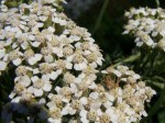 Spider on Yarrow Flower